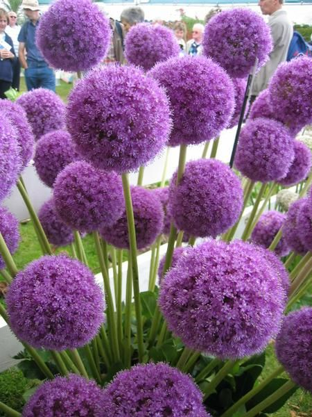 flowers for Wimbeldon florist larry walshe london alliums purple tennis
