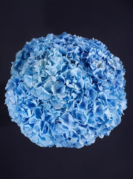 perfect_blue_hydrangea_bouquet_larry_walshe_luxury_london_delivery